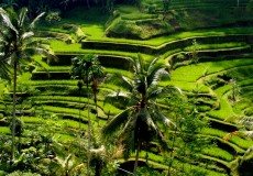 Tegalalang-Rice-Field-bali-tour