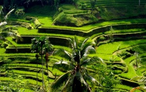Tegalalang-Rice-Terrace-bali-tour