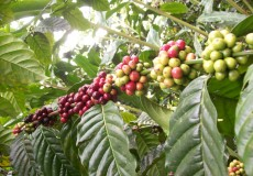 coffee-plantation-bali-tour
